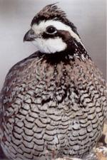 Welcome to Silver Maple Gamebirds - Breeder of Bob White